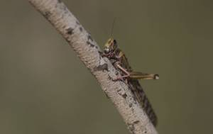 UNSEEN-BEFORE SWARMS OF VORACIOUS LOCUSTS TO HIT EAST AFRICA, MIDEAST,LEAVING BEHIND BARREN EARTH