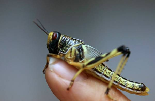 SWARMS OF LOCUSTS EXPECTED TO PLAGUE AFRICA AND MIDDLE EAST, UN GROUP SAY